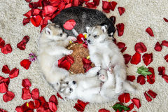 Siberian husky puppy with blue eyes Stock Images