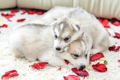 Siberian husky puppy with blue eyes Royalty Free Stock Photo
