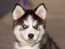 Blue-eyed Siberian Husky Puppy head. 8 weeks old female headshot with purple leash and sandy beach background Royalty Free Stock Photos