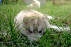 Siberian husky puppy close up on background . Siberian husky puppy close up on background Stock Photo