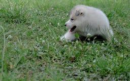 Siberian husky puppy close up on background.  Stock Photography