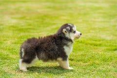 Siberian husky puppy Royalty Free Stock Image