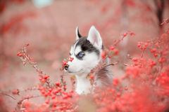 Siberian husky puppy with different eyes. Hiding in red berries Stock Photos
