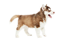 Siberian husky puppy dog Royalty Free Stock Images