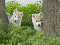 Siberian husky puppy dog Royalty Free Stock Image