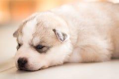 Siberian husky. Husky Royalty Free Stock Photography