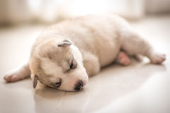 Siberian husky. Husky Royalty Free Stock Images