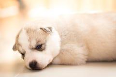 Siberian husky. Husky Stock Photo