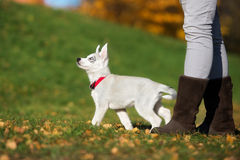 Siberian husky puppy on a first walk. Grey siberian husky puppy with blue eyes Royalty Free Stock Images
