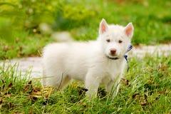 Siberian Husky puppy on grass Royalty Free Stock Photo