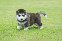 Siberian husky puppy on green grass. Cute Siberian husky puppy on green grass Royalty Free Stock Image