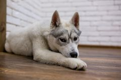Siberian husky puppy at home lying on the floor. lifestyle with dog.  Stock Image