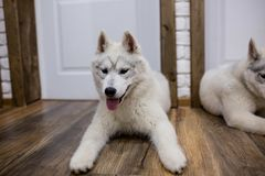 Siberian husky puppy at home lying on the floor. lifestyle with dog.  Royalty Free Stock Photography