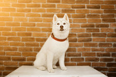 Siberian husky puppy at home sit and play. lifestyle with dog Flare for text and design Stock Image