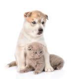 Siberian Husky puppy hugging scottish kitten. isolated on white Stock Photos