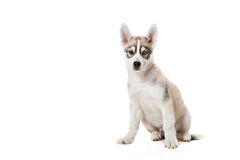 Siberian Husky puppy isolated on a white background Royalty Free Stock Photo
