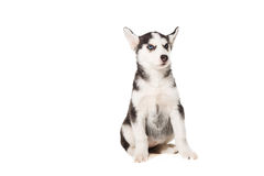 Siberian Husky puppy isolated on a white background Stock Image