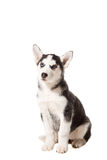 Siberian Husky puppy isolated on a white background Royalty Free Stock Photos