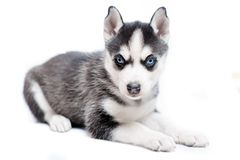 Siberian husky puppy isolated on white Stock Photography
