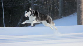 Siberian Husky Puppy Jump High on Snow. Siberian Husky Puppy with two Different Colored Eyes Jump High on Snow royalty free stock image