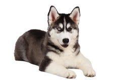 Siberian Husky Puppy Lies på vit royaltyfri fotografi