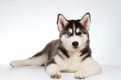 Siberian Husky Puppy Lies on White Royalty Free Stock Photos