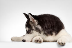 Siberian Husky Puppy Lies on White Royalty Free Stock Photography
