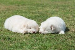 Siberian husky puppy lying and looking on green grass Stock Image