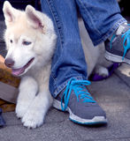 Siberian Husky puppy. 6 months old, sitting near the feet of the owner Royalty Free Stock Images