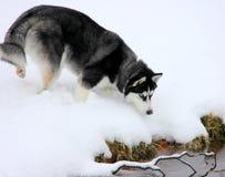 Siberian Husky Puppy na neve Imagem de Stock Royalty Free