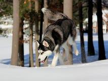 Siberian Husky Puppy na neve Fotografia de Stock