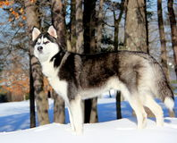 Siberian Husky Puppy na neve Imagens de Stock