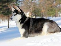 Siberian Husky Puppy na neve Foto de Stock Royalty Free