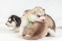 Siberian Husky puppy one month stock images