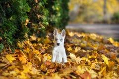 Siberian husky puppy outdoors Royalty Free Stock Photos