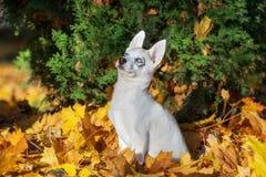 Siberian husky puppy outdoors Royalty Free Stock Photography