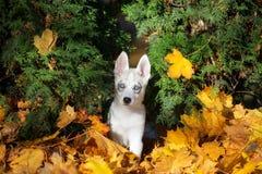 Siberian husky puppy outdoors in autumn Stock Photo