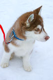 Siberian Husky Puppy Stock Photo
