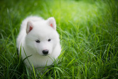 Siberian husky puppy playing on green grass royalty free stock photo