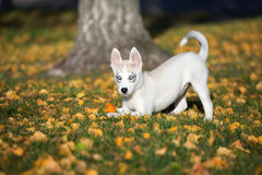 Siberian husky puppy playing outdoors Stock Photos