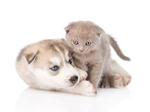 Siberian Husky puppy playing with scottish kitten. isolated Stock Photos