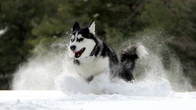 Siberian Husky. Puppy Running on Snow stock images
