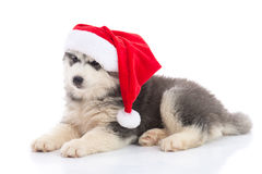 Siberian husky puppy in Santa Claus xmas red hat on white backgr Royalty Free Stock Photos