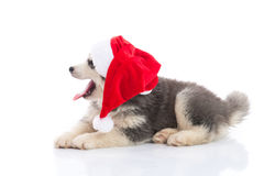 Siberian husky puppy in Santa Claus xmas red hat on white backgr Royalty Free Stock Photography