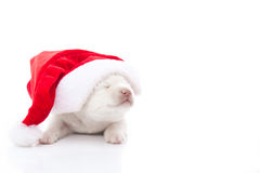 Siberian husky puppy in Santa Claus xmas red hat on white backgr Royalty Free Stock Photo