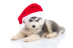 Siberian husky puppy in Santa Claus xmas red hat on white backgr Royalty Free Stock Images
