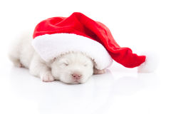 Siberian husky puppy in Santa Claus xmas red hat on white backgr Royalty Free Stock Image