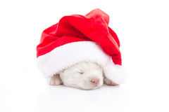 Siberian husky puppy in Santa Claus xmas red hat on white backgr Stock Images