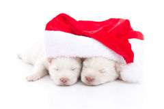 Siberian husky puppy in Santa Claus xmas red hat on white backgr Stock Photography