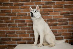 Siberian husky puppy sitting on the furniture. Lifestyle with dog.  royalty free stock photos